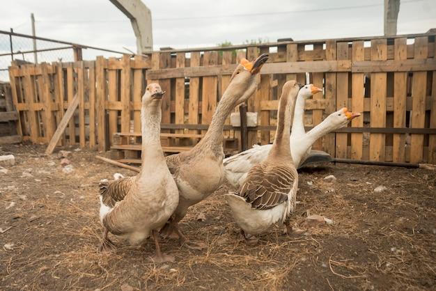 Grupo de gansos em uma fazenda Foto gratuita