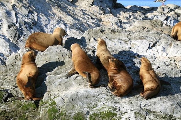 Grupo de leões-marinhos tomando banho de sol na rocky island do canal de beagle, ushuaia, patagônia, argentina Foto Premium
