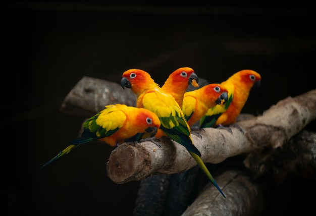 Grupo de pássaro papagaio sunconure Foto Premium