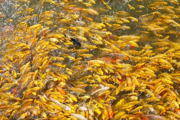 Grupo de peixes de carpa dourada na água Foto Premium