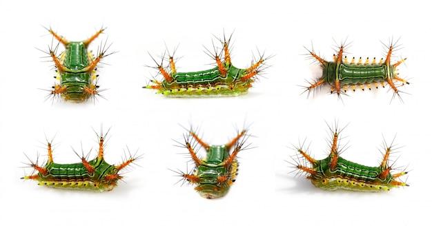 Grupo de picada de urtiga caterpillar (copa moth, limacodidae) Foto Premium