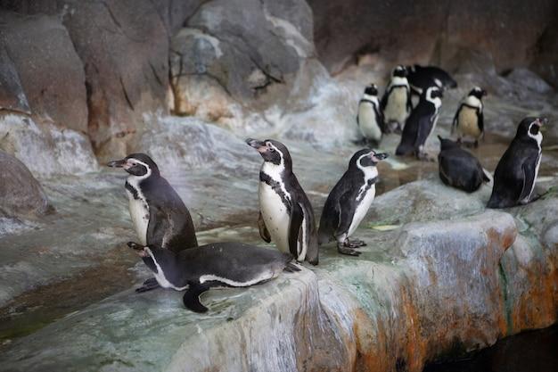 Grupo de pinguins em uma rocha no zoológico Foto Premium