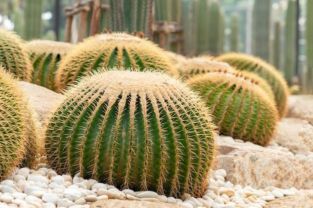 Grusonii echinocactus ou um balde de ouro. um arranjo bonito do jardim do cacto. Foto Premium