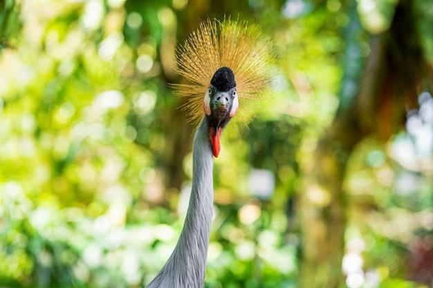 Guindaste coroado caminha ao longo de um caminho em um parque verde. observação de pássaros Foto Premium