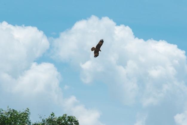 Haliastur indus está voando para presas uma ave de rapina de tamanho médio Foto Premium
