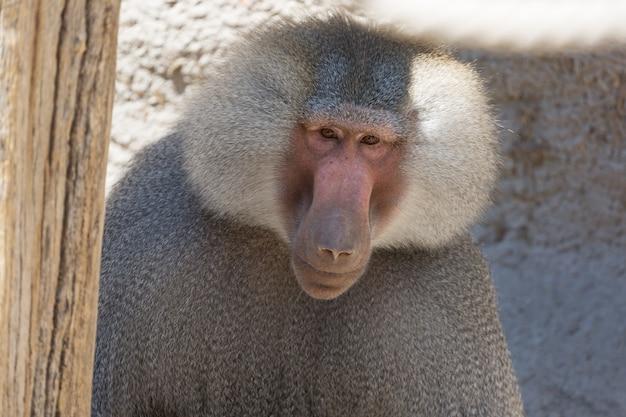 Hamadryas babuíno papio hamadryas pavian fechar retrato Foto Premium