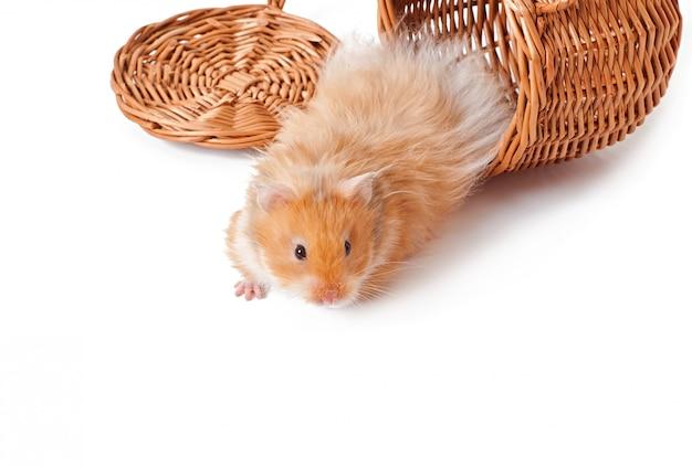 Hamster em uma cesta isolada em uma mesa branca Foto gratuita