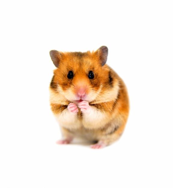 Hamster olha para câmera e comendo Foto Premium
