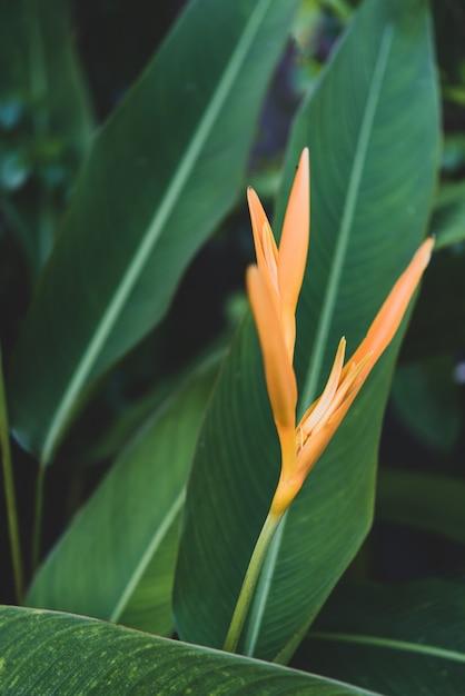 Heliconia psittacorum amarela exótica Foto Premium