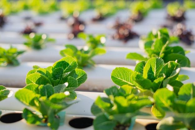 Hidroponia, vegetais orgânicos frescos colhidos, agricultores que trabalham com horta hidropônica orgânica em estufa. Foto Premium