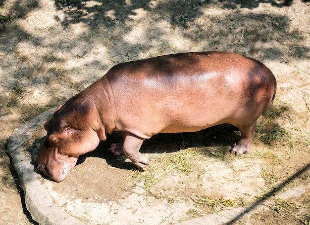 Hipopótamo no zoológico ao ar livre Foto gratuita
