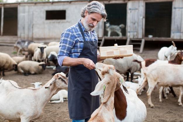 Homem alimentando cabras Foto gratuita