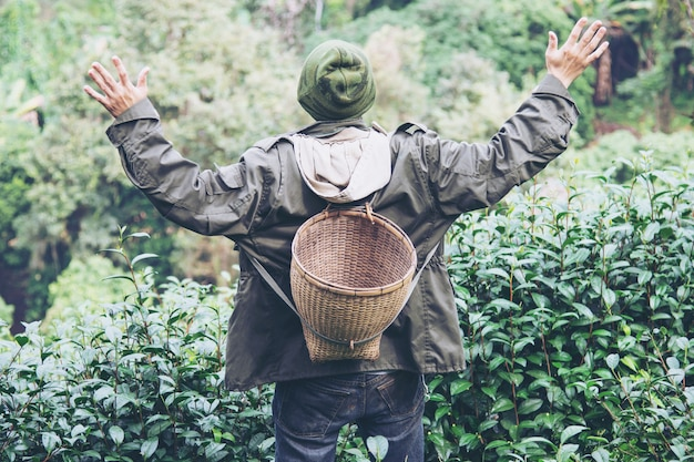Homem, colheita, /, pick, fresco, chá verde, folhas, em, alto, terra, chá, campo, em, chiang mai, tailandia Foto gratuita