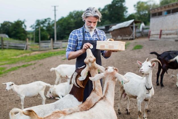 Homem de alto ângulo alimentando cabras Foto gratuita