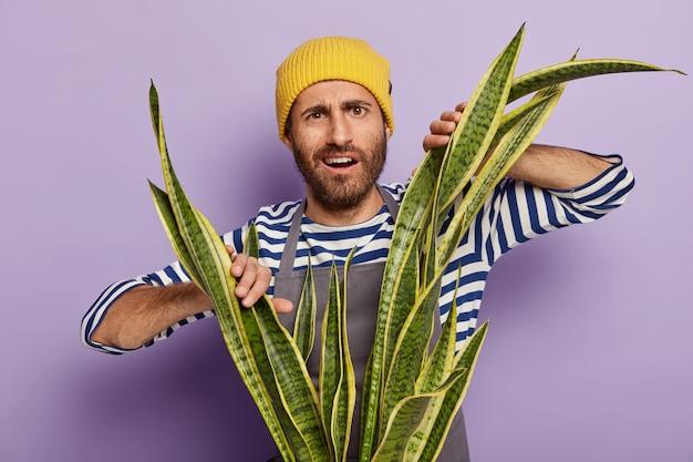 Homem intrigado e descontente com restolho cresce plantas caseiras, precisa limpar a poeira da sansevieria Foto gratuita