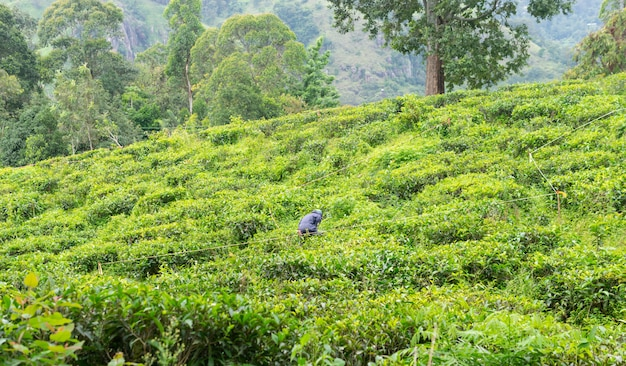 Homem que trabalha no campo de plantações de chá verde na área de montanha do sri lanka Foto Premium