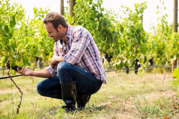 Homem tocando uvas Foto Premium