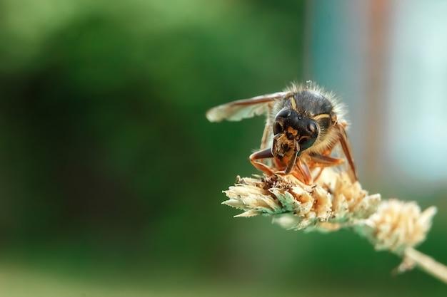 Hornet adulto em um galho Foto Premium