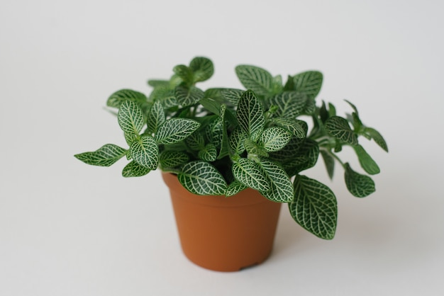 Houseplant fittonia verde escuro com listras brancas em uma panela marrom com branco Foto Premium