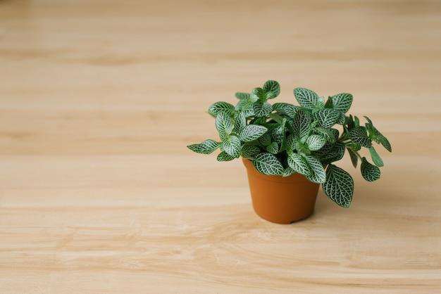 Houseplant fittonia verde escuro com listras brancas em uma panela marrom Foto Premium