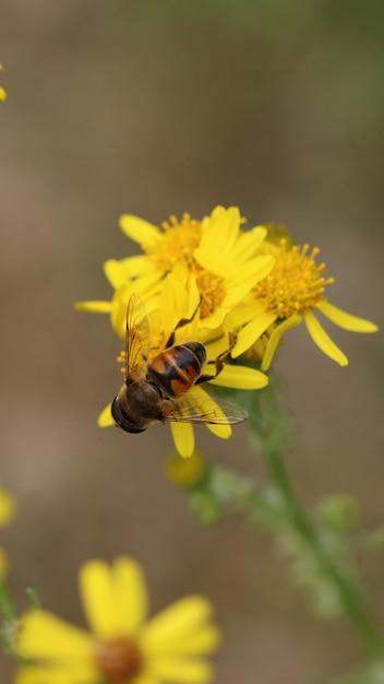 Hoverfly na flor amarela Foto gratuita