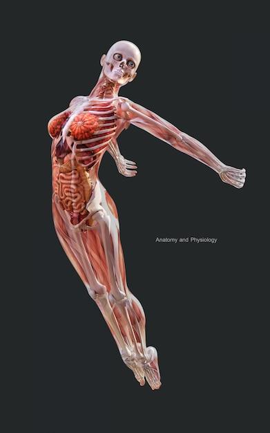 Humano da ilustração 3d de um sistema de esqueleto fêmea do músculo, osso e sistema digestivo Foto Premium