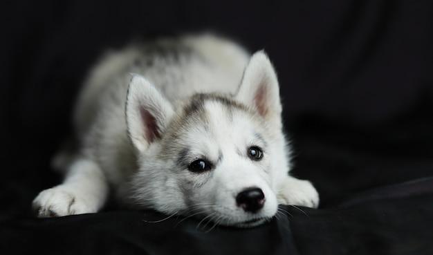 Husky cachorrinho com olhos grossos encontra-se em um fundo preto Foto Premium