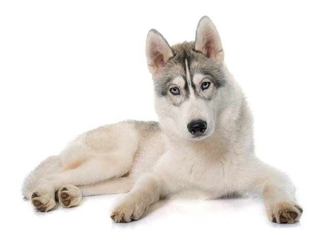 Husky siberiano cinzento Foto Premium