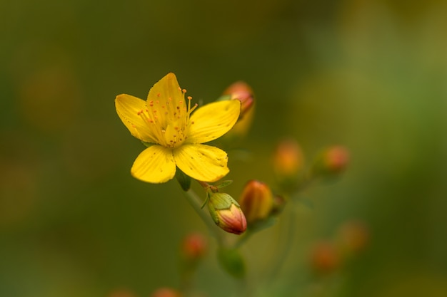 Hypericum pulchrum delgado de erva de são joão. flor amarela e botões. família hypericaceae. Foto Premium