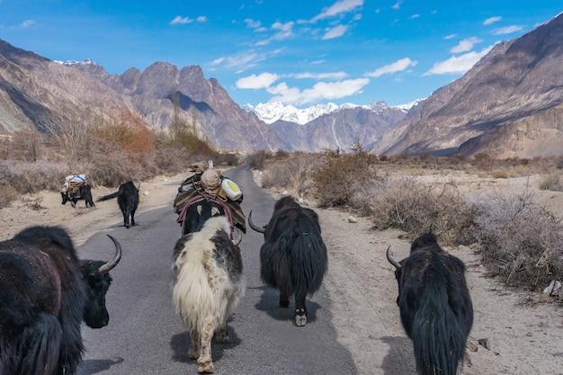 Iaque selvagem que anda a estrada na maneira à paisagem da montanha em leh, india. Foto Premium
