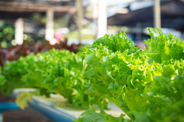 Iceberg de frillice do close up. planta hidropônica. Foto Premium