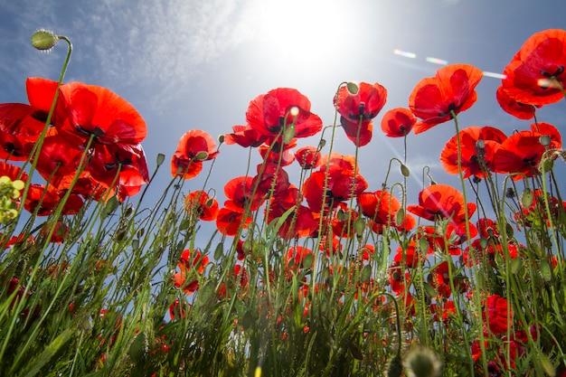 Ideia bonita de um campo de flor vermelho da papoila na mola. Foto Premium