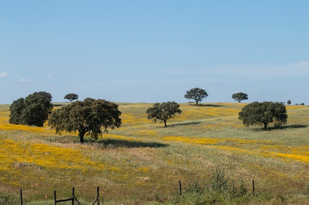 Ideia típica da paisagem da mola no alentejo com margaridas e os carvalhos amarelos da pequena ilha. Foto Premium
