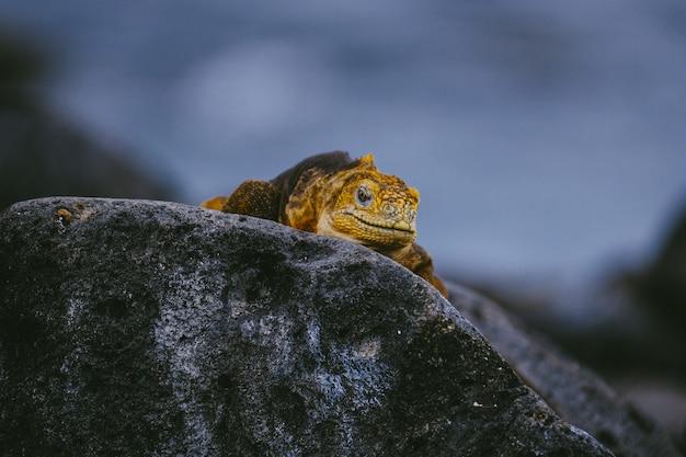 Iguana amarela andando em uma pedra com turva Foto gratuita
