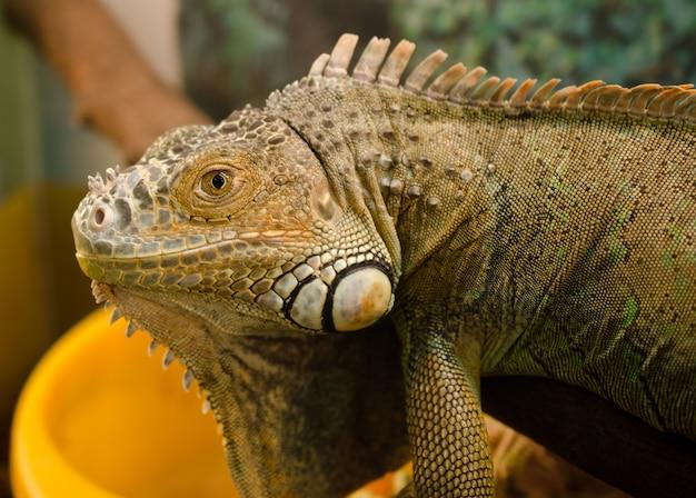 Iguana comum no terrário olhar diretamente nos olhos Foto Premium