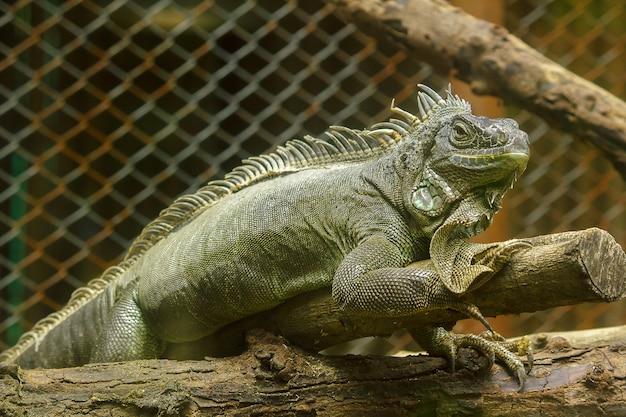 Iguana na branchesiguana é um residente da américa central e do sul. Foto Premium
