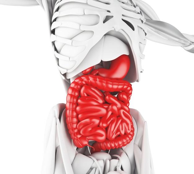 Ilustração 3d do sistema digestivo Foto Premium