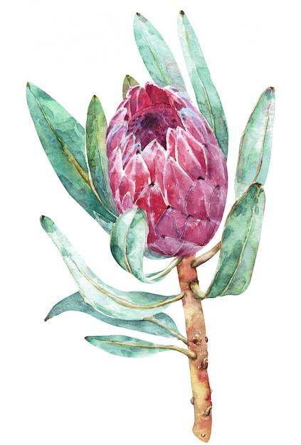 Ilustração botânica da aquarela da flor do protea. Foto Premium