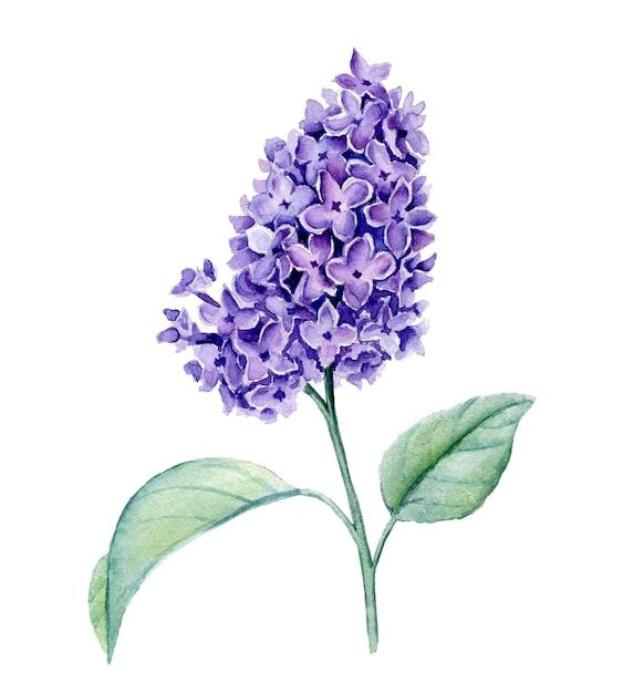 Ilustração em aquarela violeta syringa ramo isolada Foto Premium