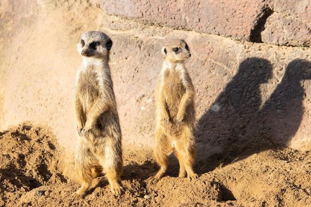 Imagem aproximada de dois suricatos em alerta vigiando no deserto Foto gratuita
