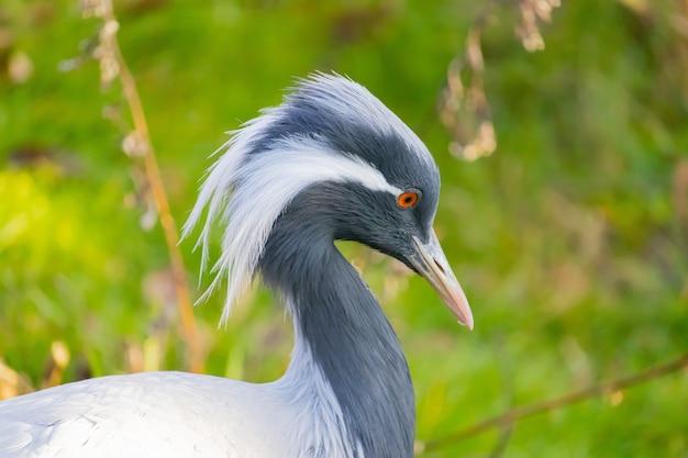 Imagem aproximada de um guindaste demoiselle com longas penas brancas caindo no canto dos olhos Foto gratuita