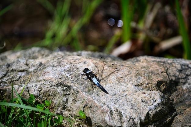 Imagem aproximada de um odonata em uma grande rocha Foto gratuita