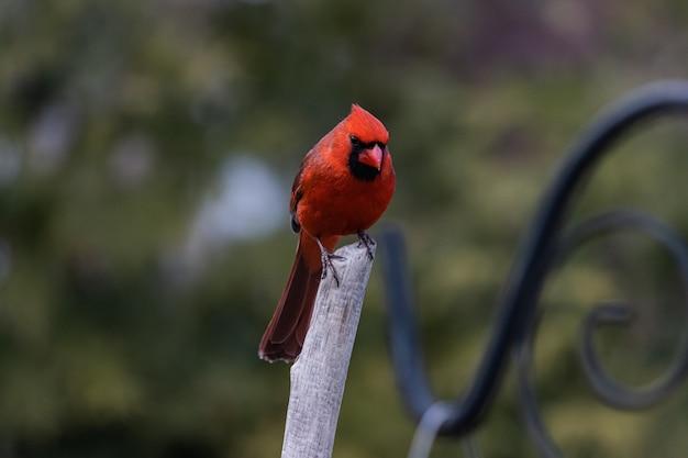 Imagem aproximada de um pássaro cardeal vermelho descansando em um galho Foto gratuita