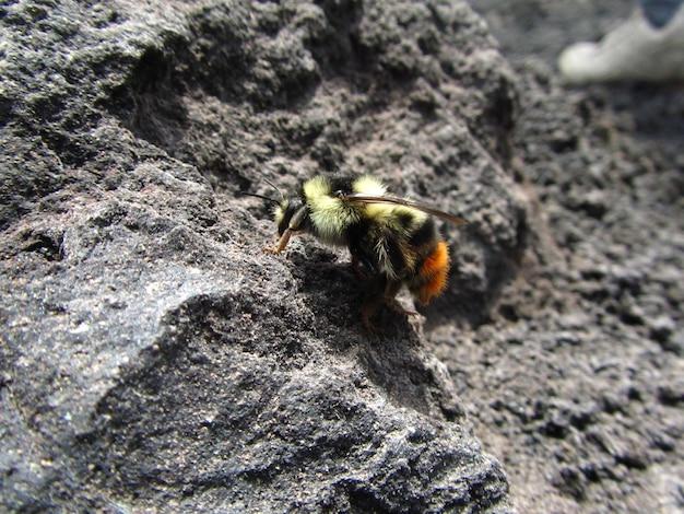 Imagem aproximada de uma abelha caminhando na lava vulcânica Foto gratuita