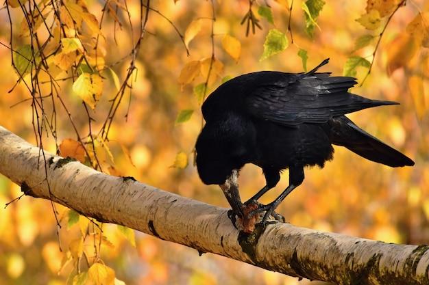 Imagem bonita de um pássaro - corvo / corvo na natureza do outono. (corvus frugilegus) Foto gratuita