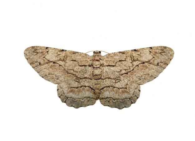 Imagem de mariposa marrom (nannoarctia tripartita) isolada no fundo branco Foto Premium