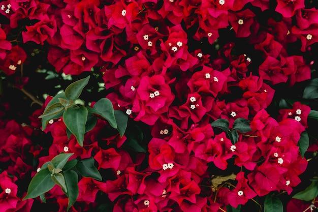 Imagem de quadro completo de flores vermelhas buganvílias Foto gratuita