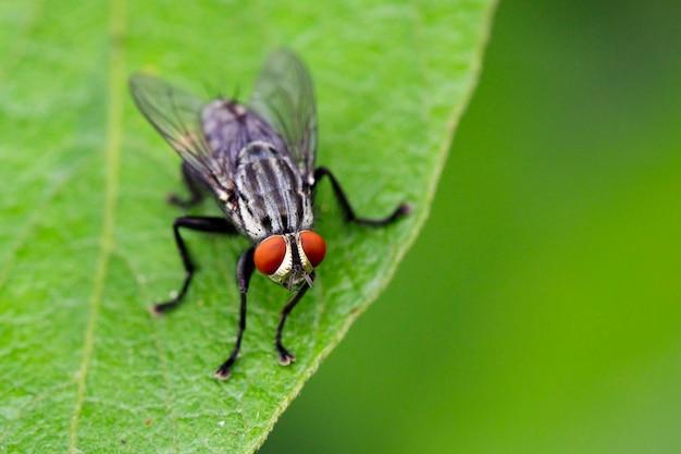 Imagem do moscas (dípteros) nas folhas verdes. inseto. animal Foto Premium