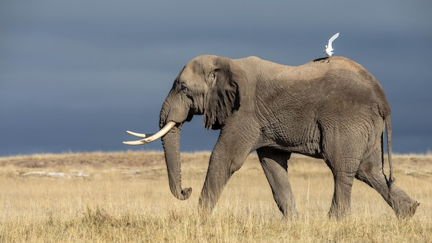 Imagens bonitas de elefantes africanos na áfrica Foto Premium
