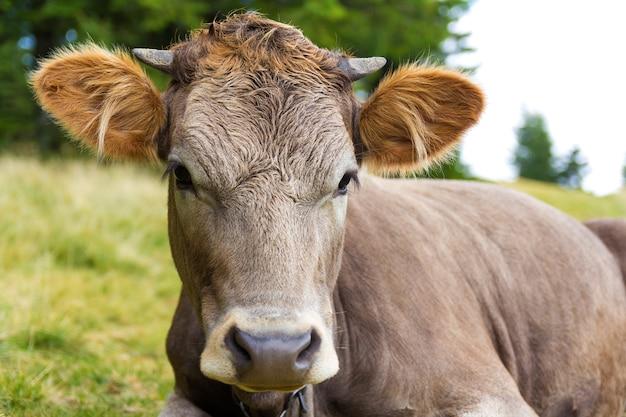 Imagens de retrato de uma cabeça de vaca jovem Foto Premium